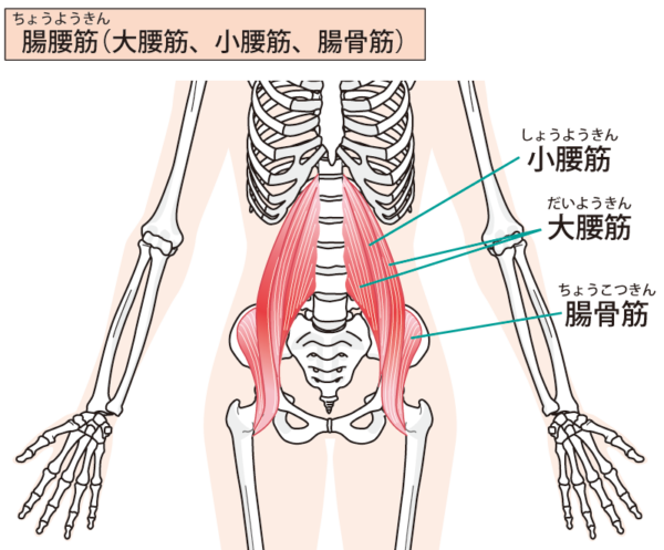 足の付け根の筋肉